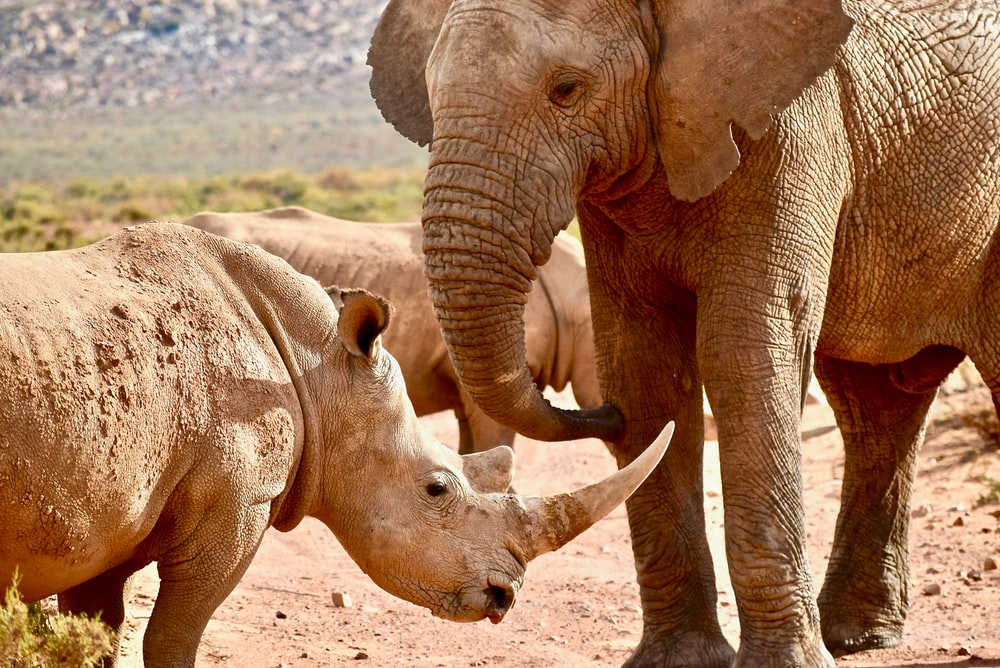 elephant and rhinoceros on desert