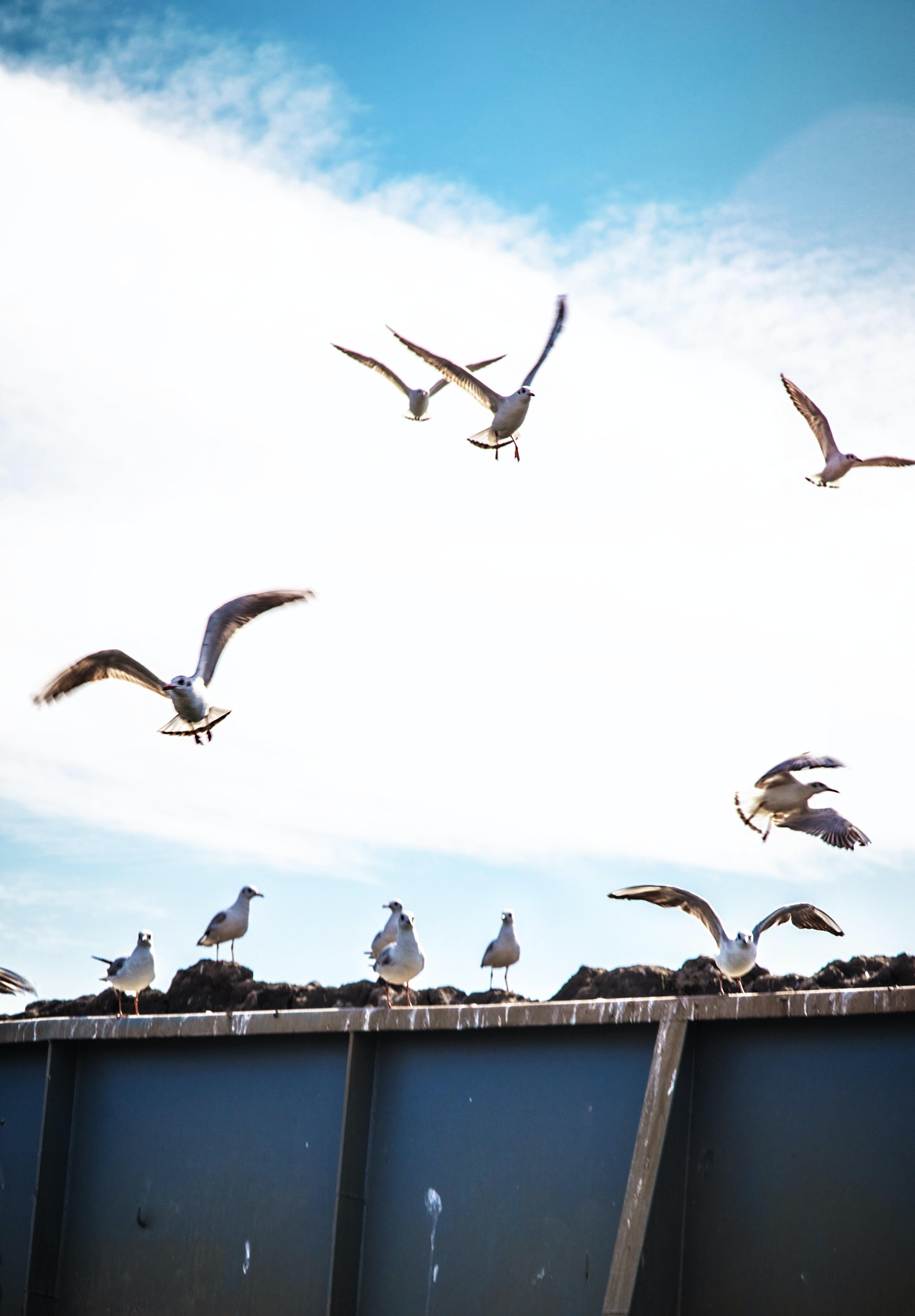 flying flock of birds