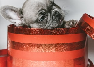 gray puppy in red box