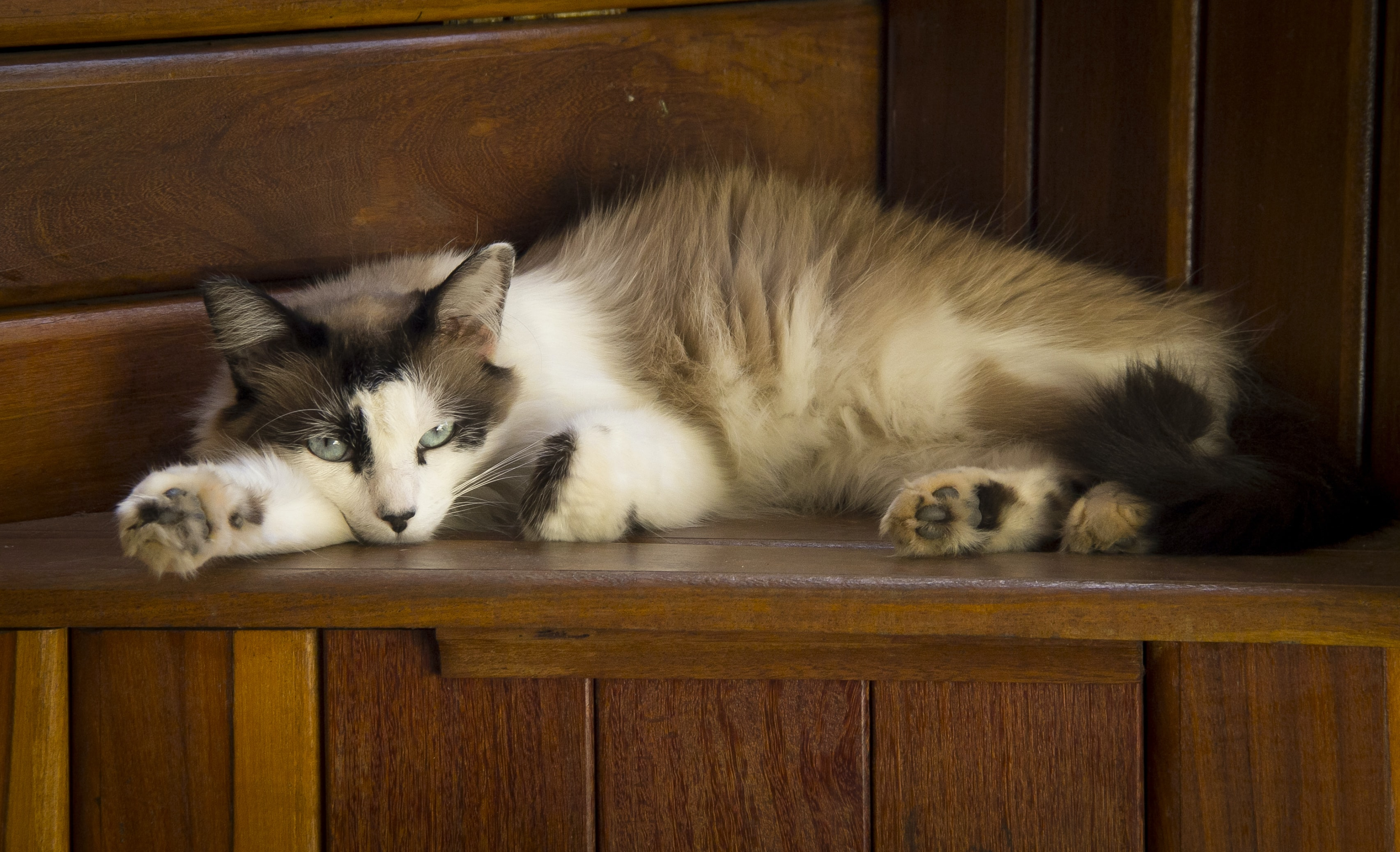 long-fur brown and white cat lying on brown wooden panel