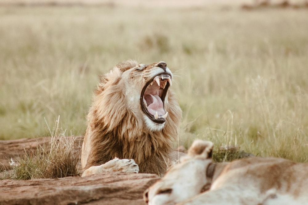 roaring lion on field