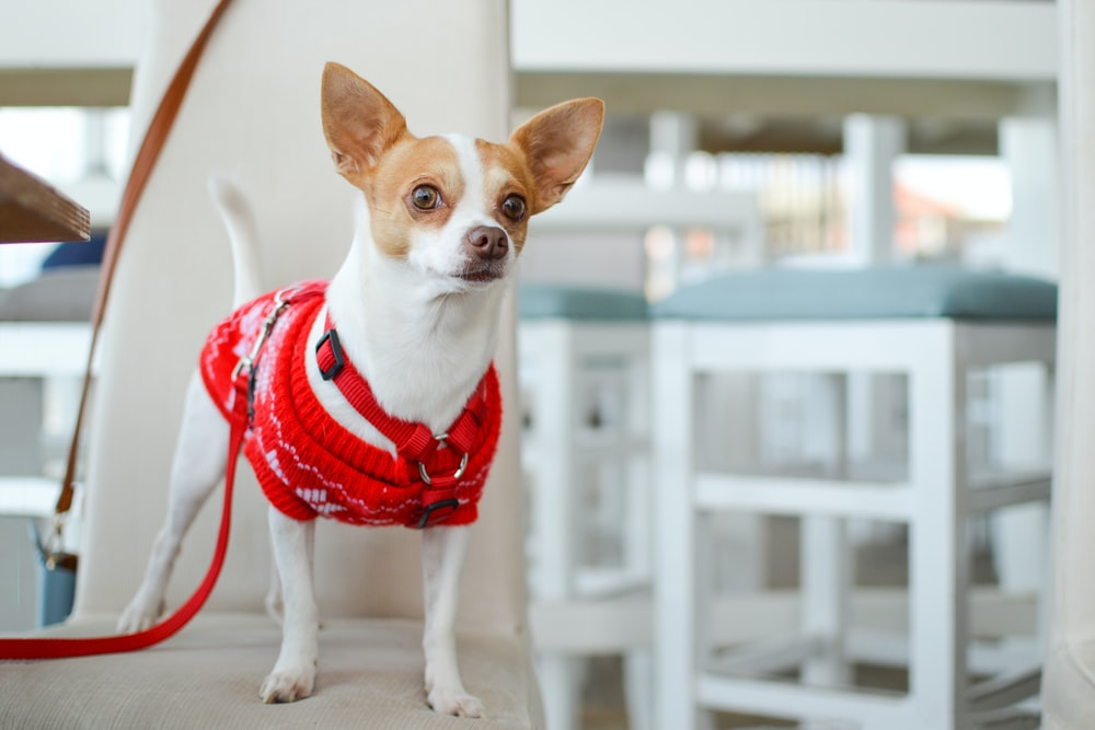 adult white Chihuahua with red clothes
