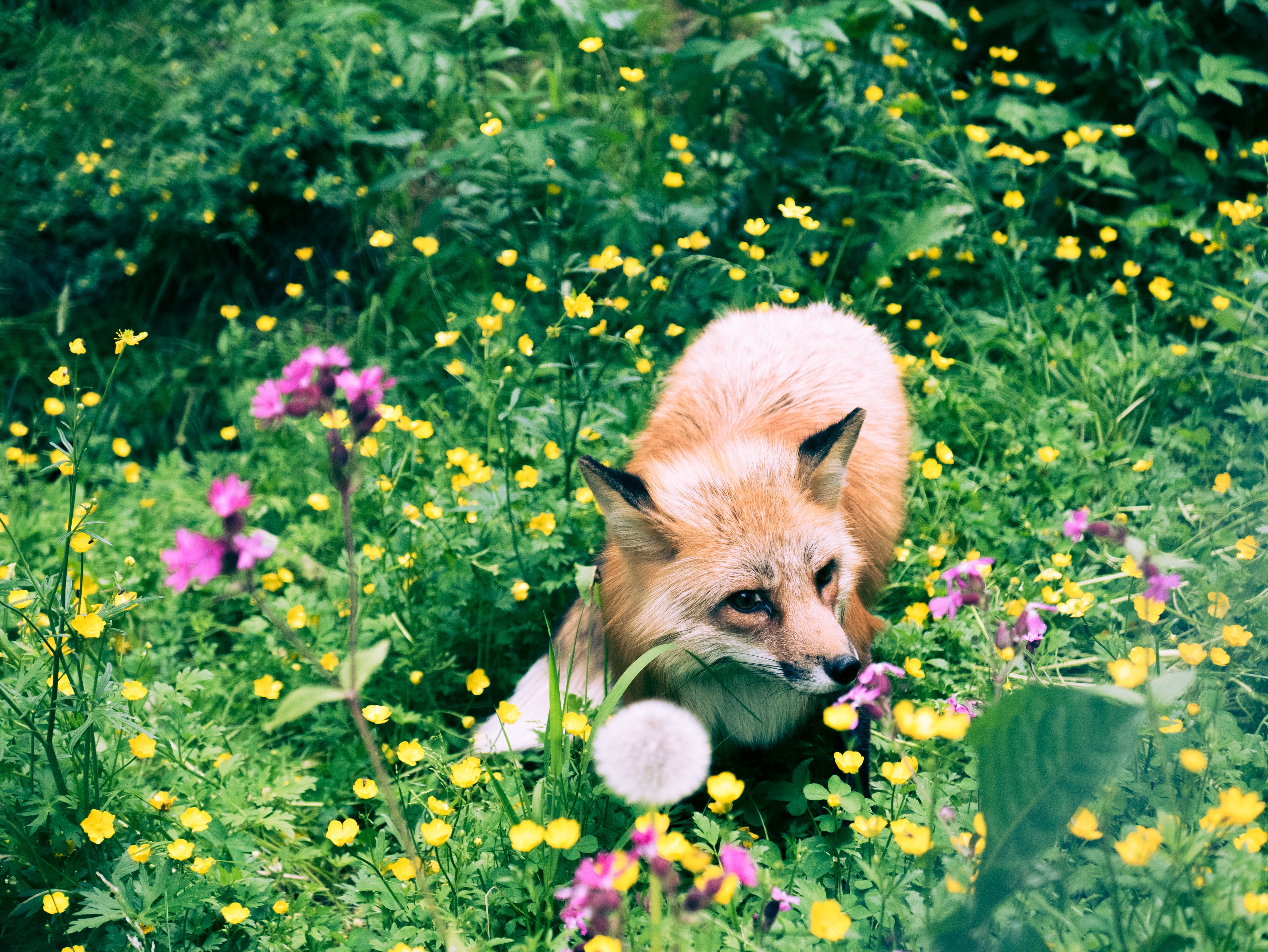 brown fox in the middle of flowers
