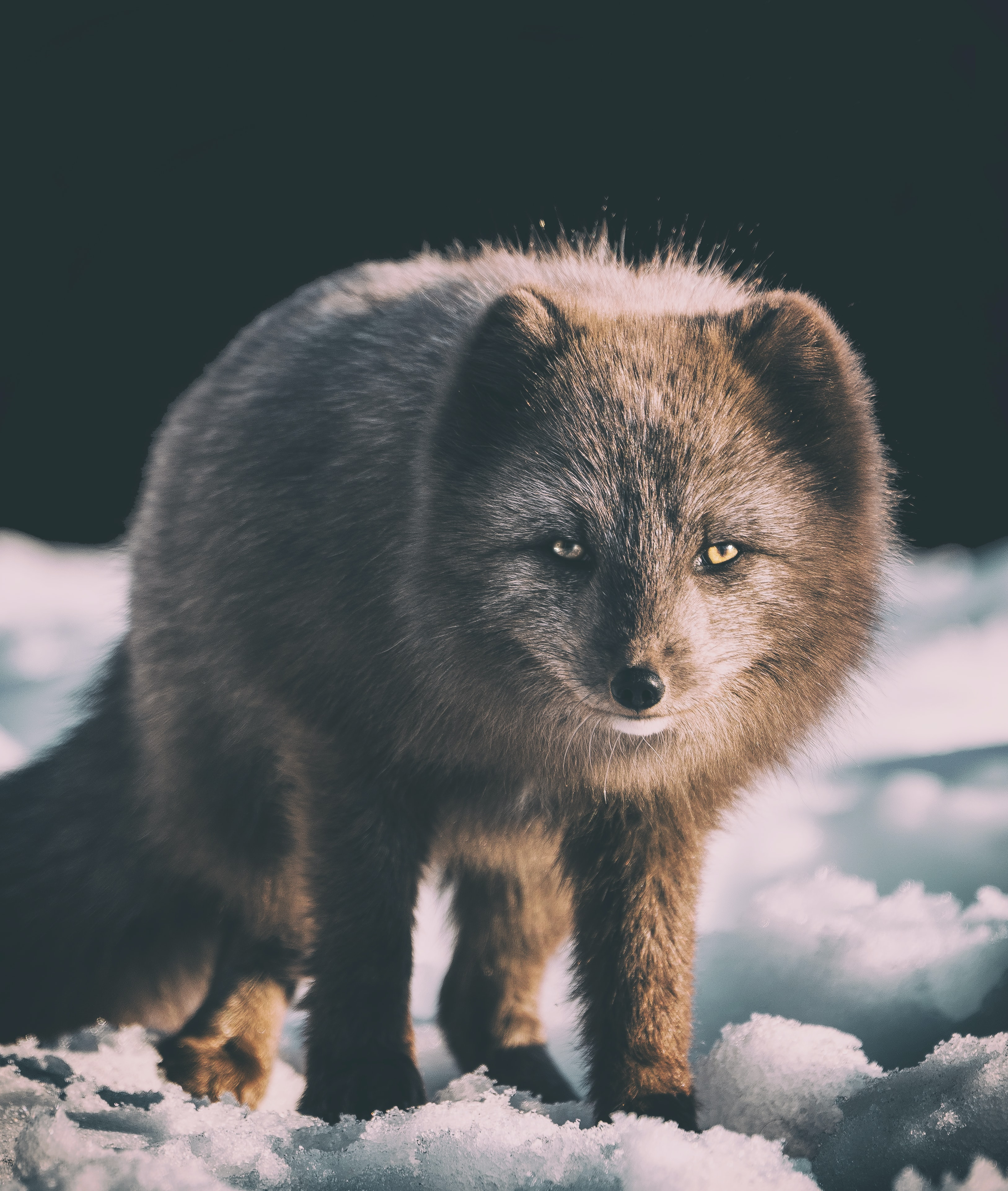 focus photography of gray fox on snow