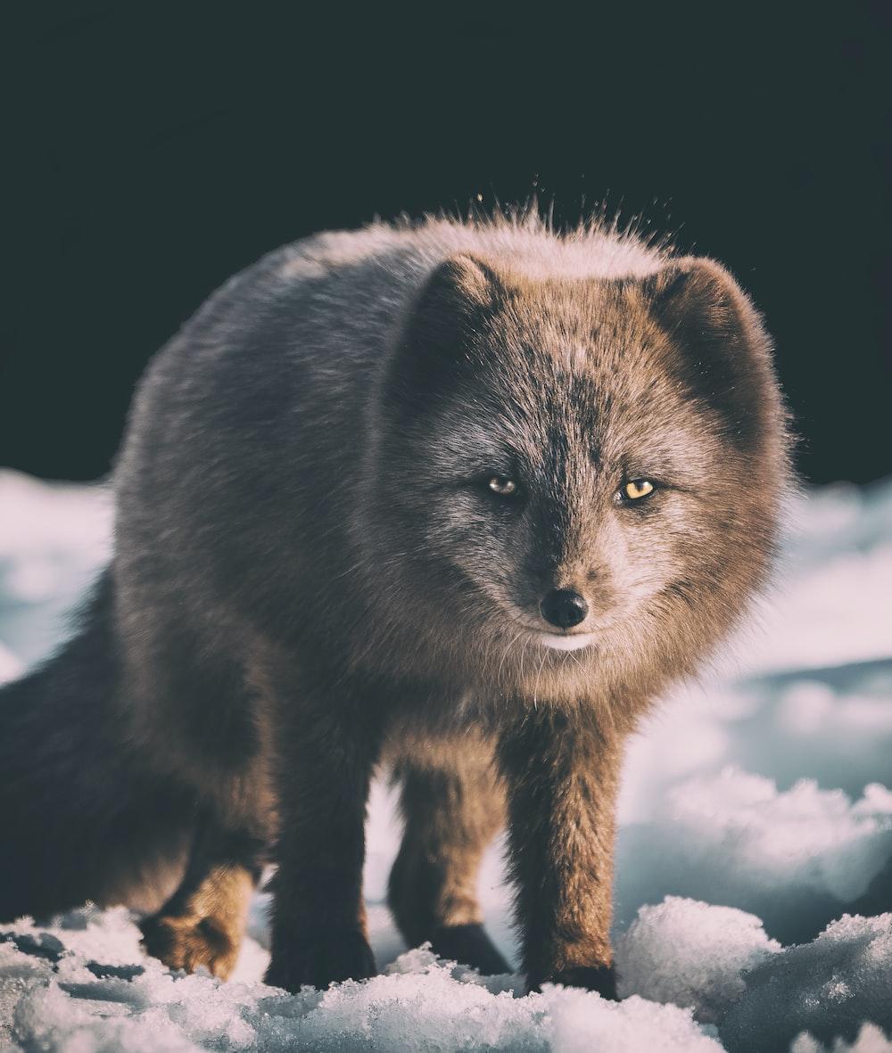focus photography of gray fox on snow