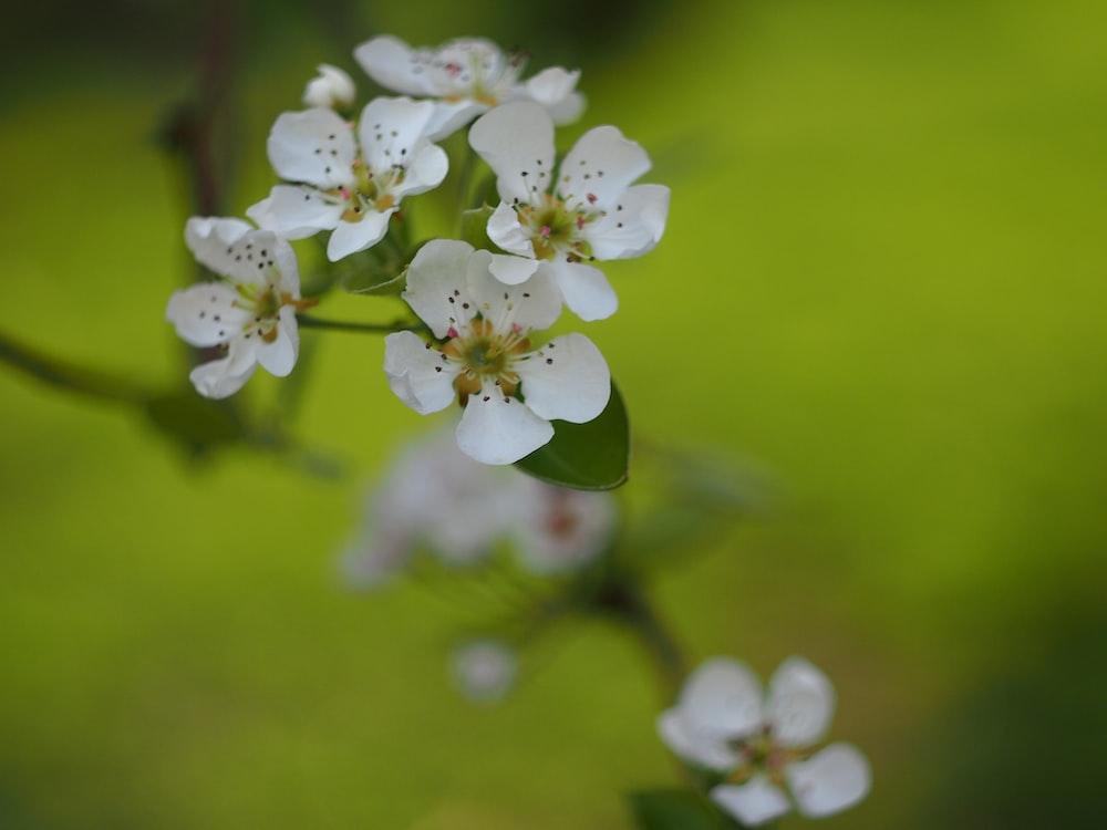White Crabapple Blossoms | HD photo by Janae Almen