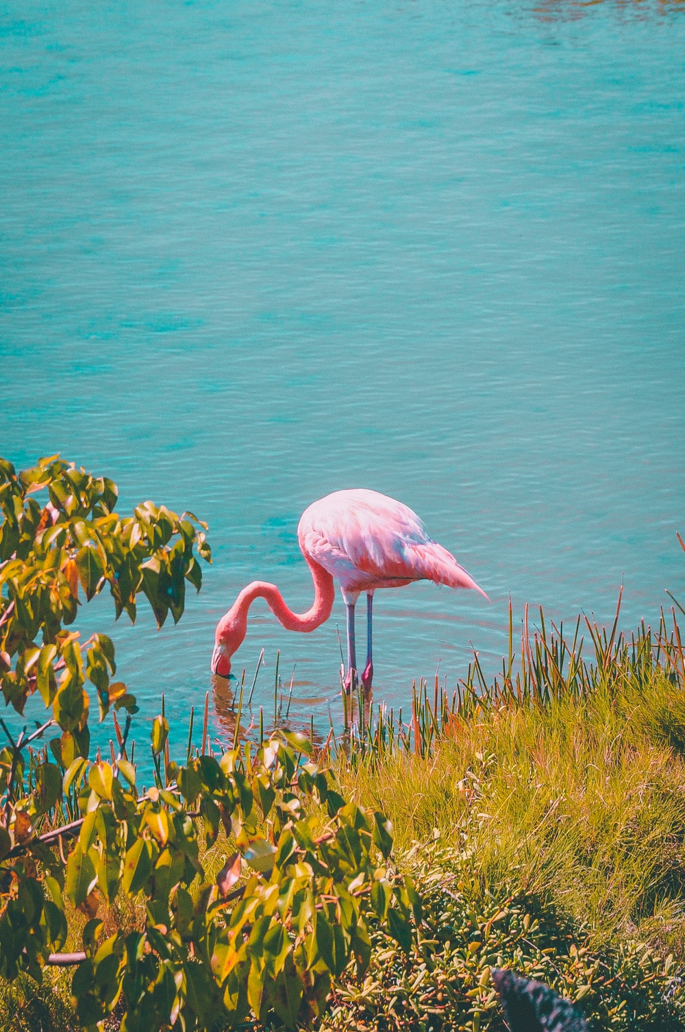 pink flamingo near grass field