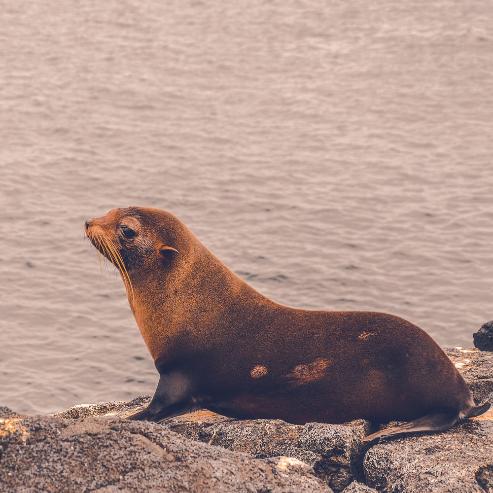 brown sea lion on rock formation
