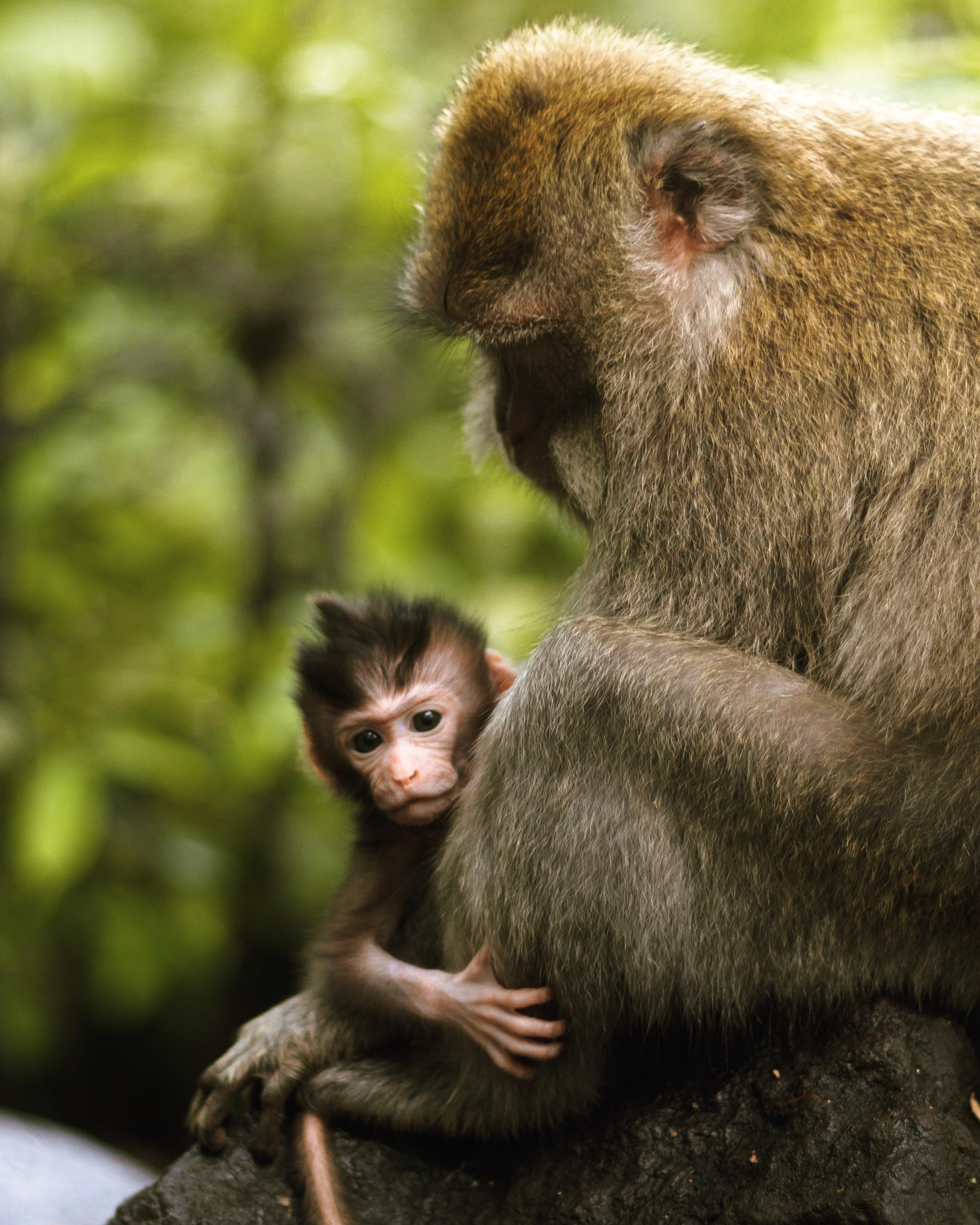 gray monkey carrying baby monkey during daytime