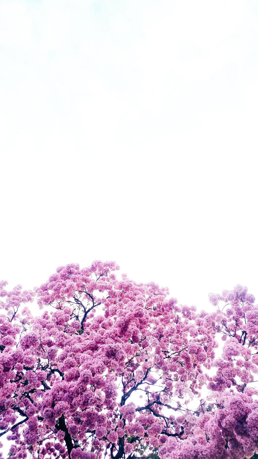 pink leafed trees