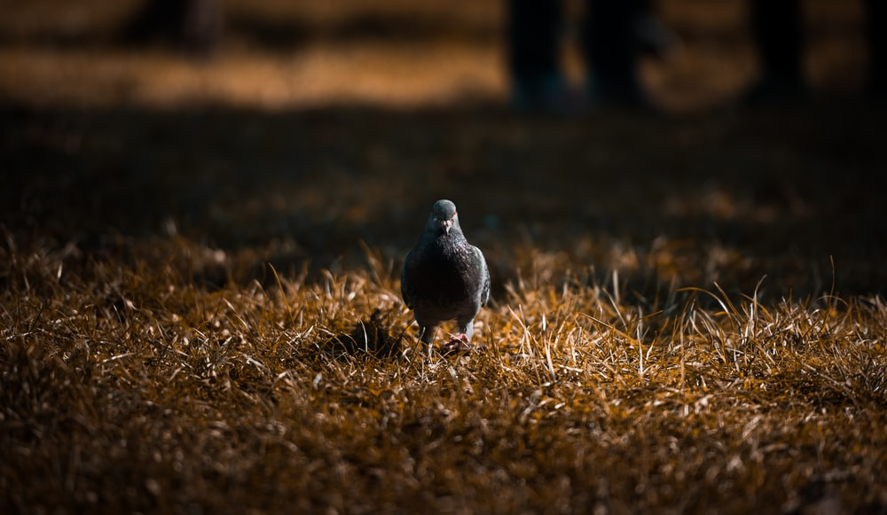pigeon on dried grass