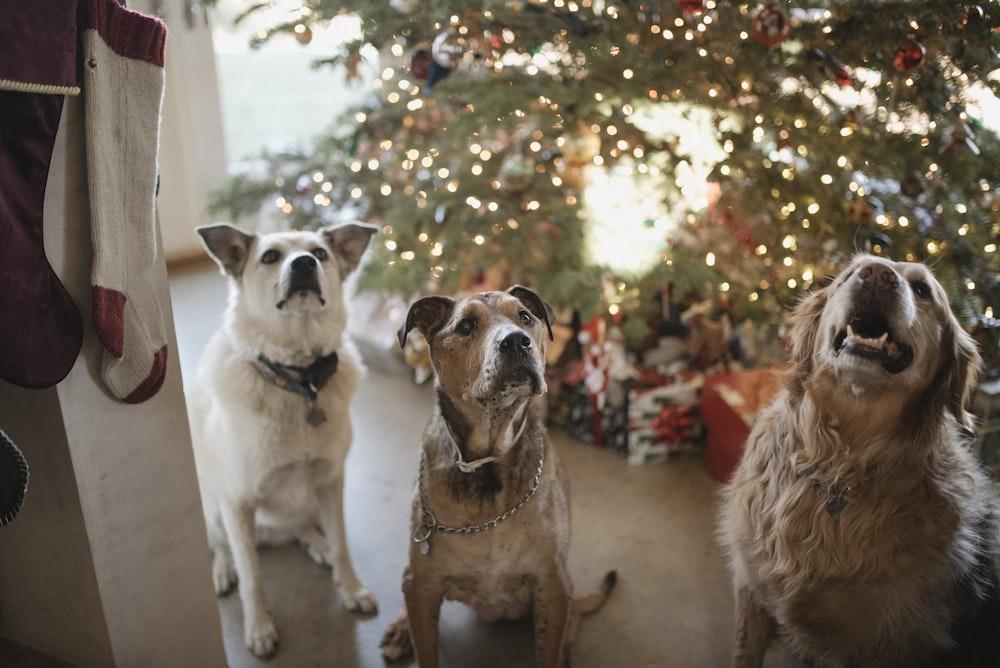 three gray dogs near the Christmas tree looking up