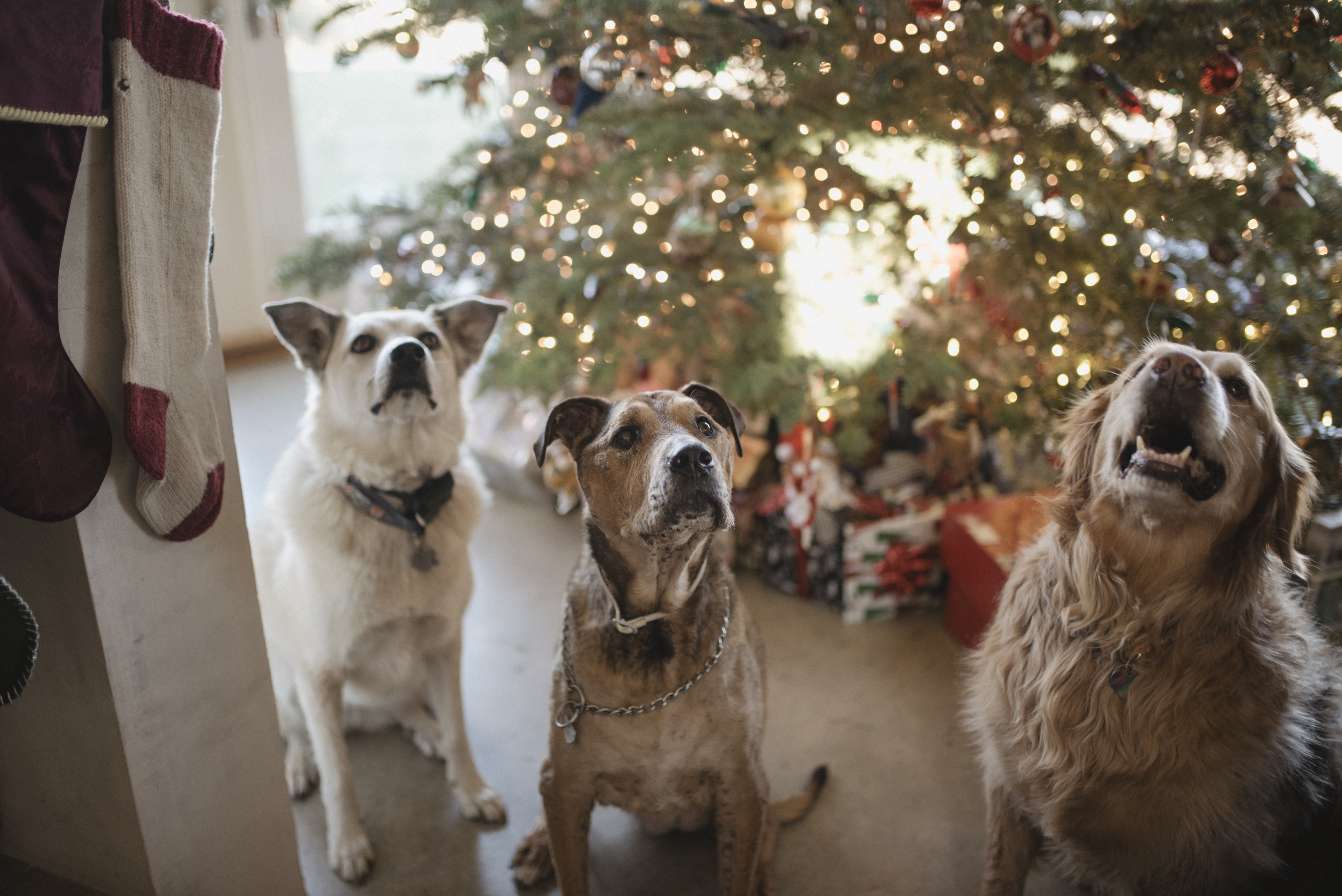 three gray dogs near the Christmas tree looking up