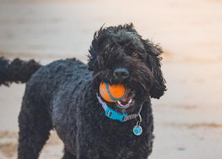 black poodle biting orange ball