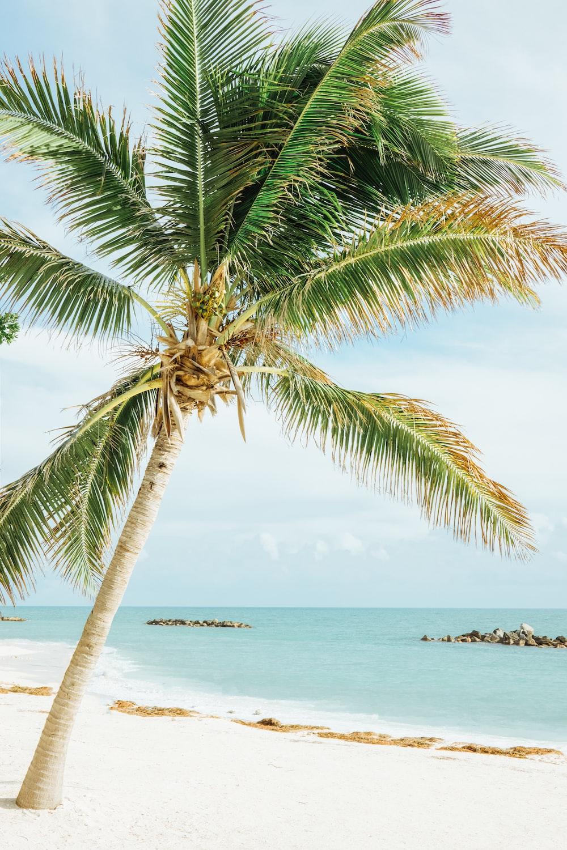 green leafed coconut tree near sea