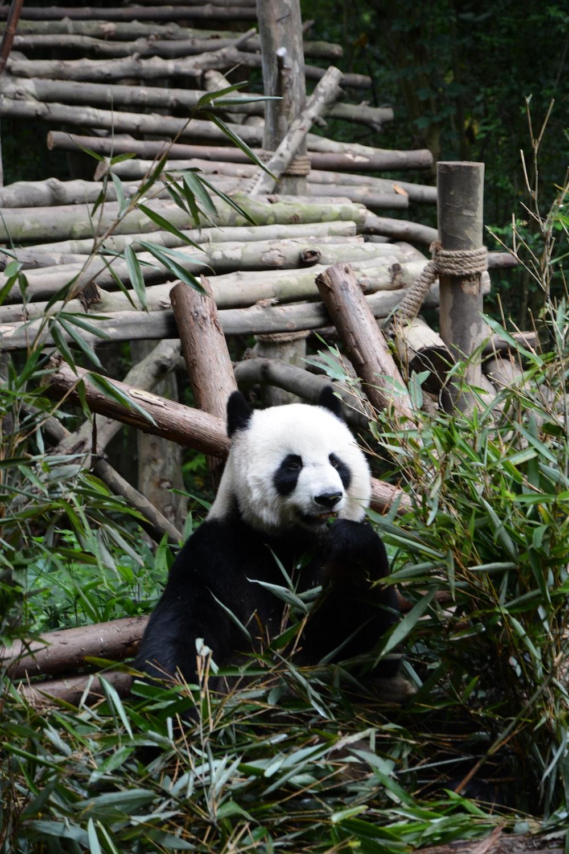 Panda bear on grass field