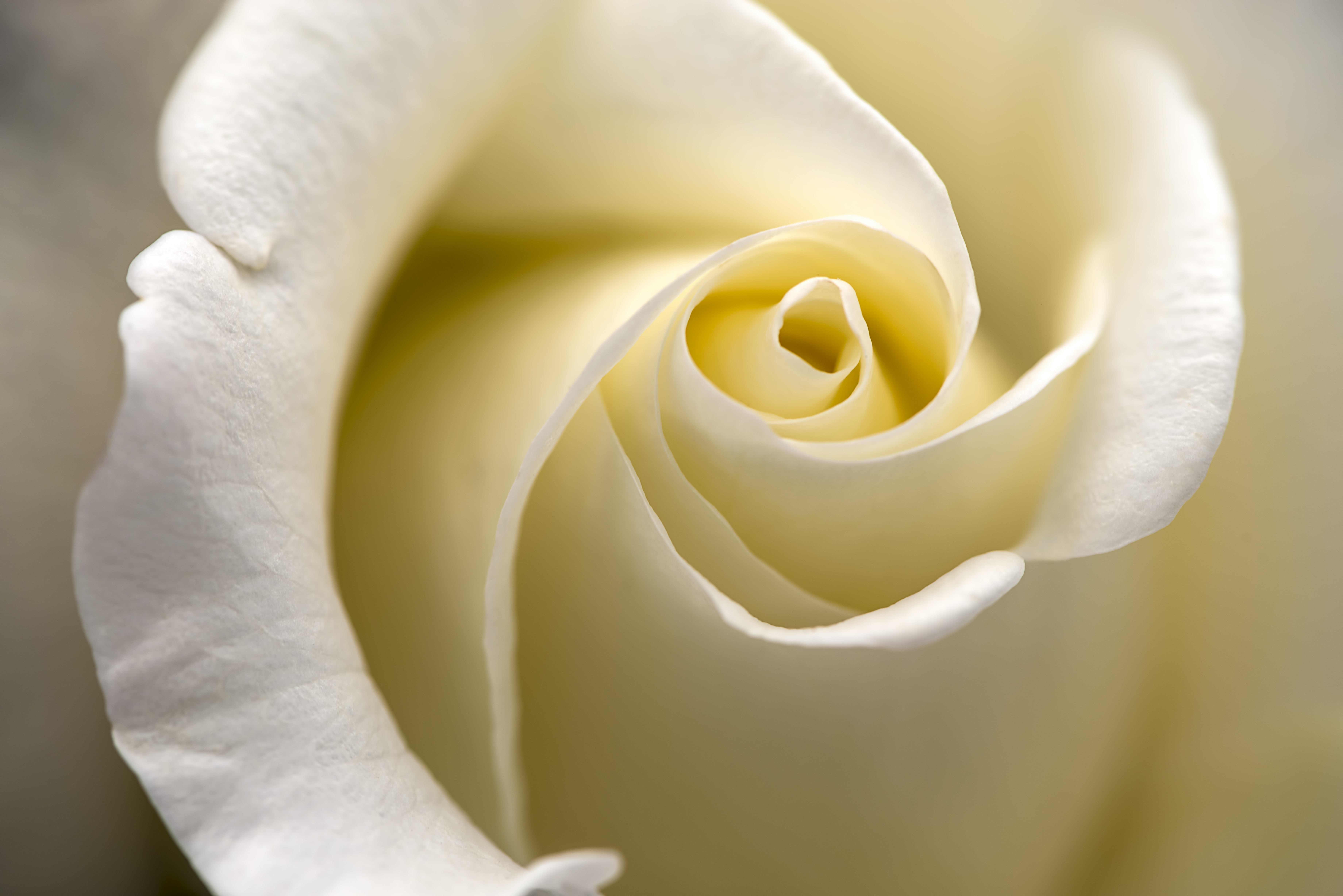 close up photography of rose flower
