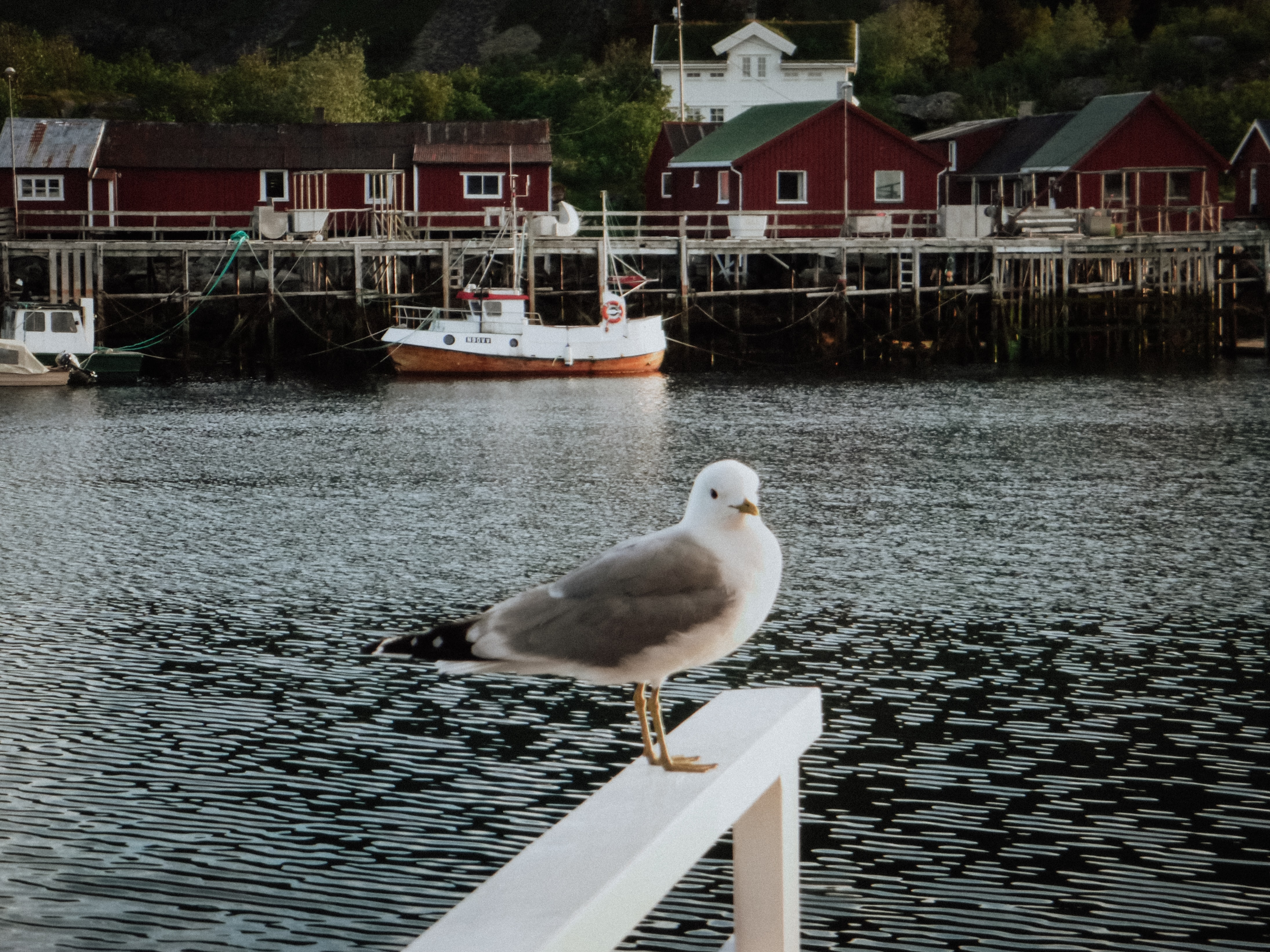 white and black seagull on wooden dock