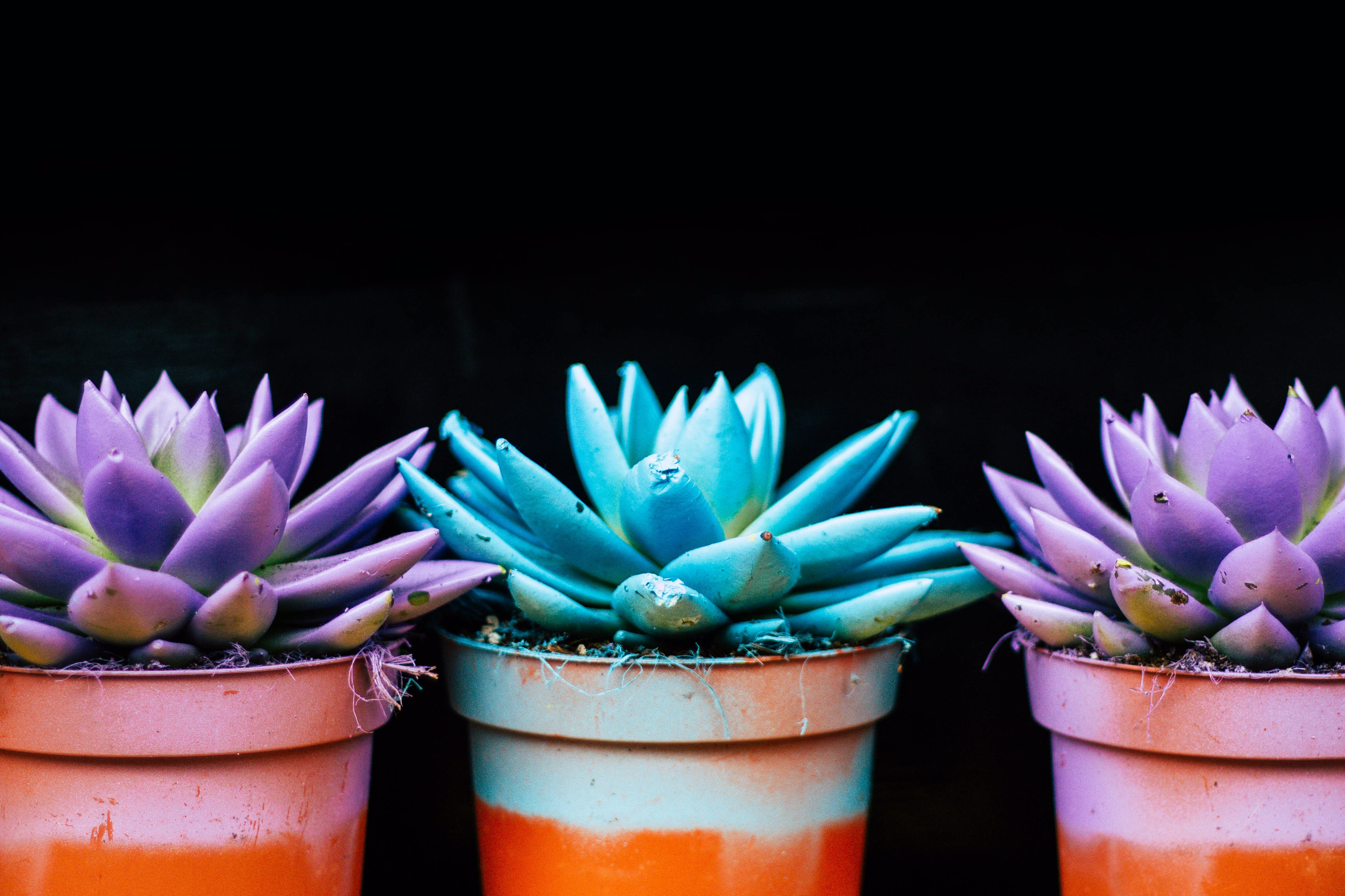 three teal and purple succulent plants