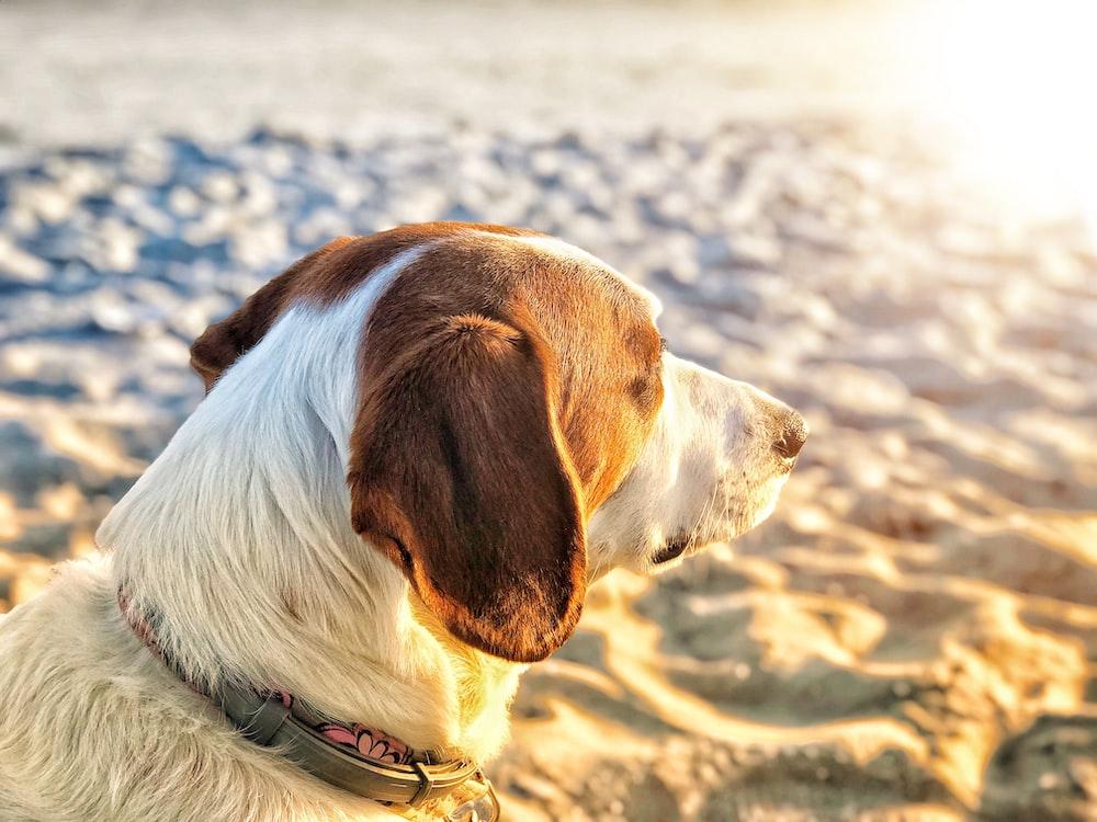 closeup photo of brown dog on sand