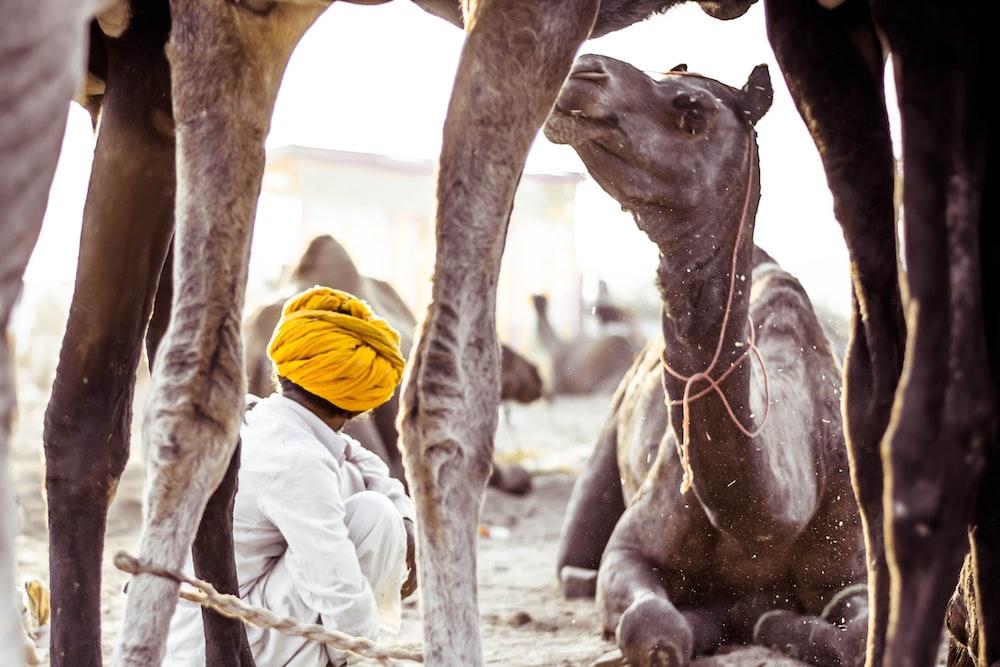 camels during daytime