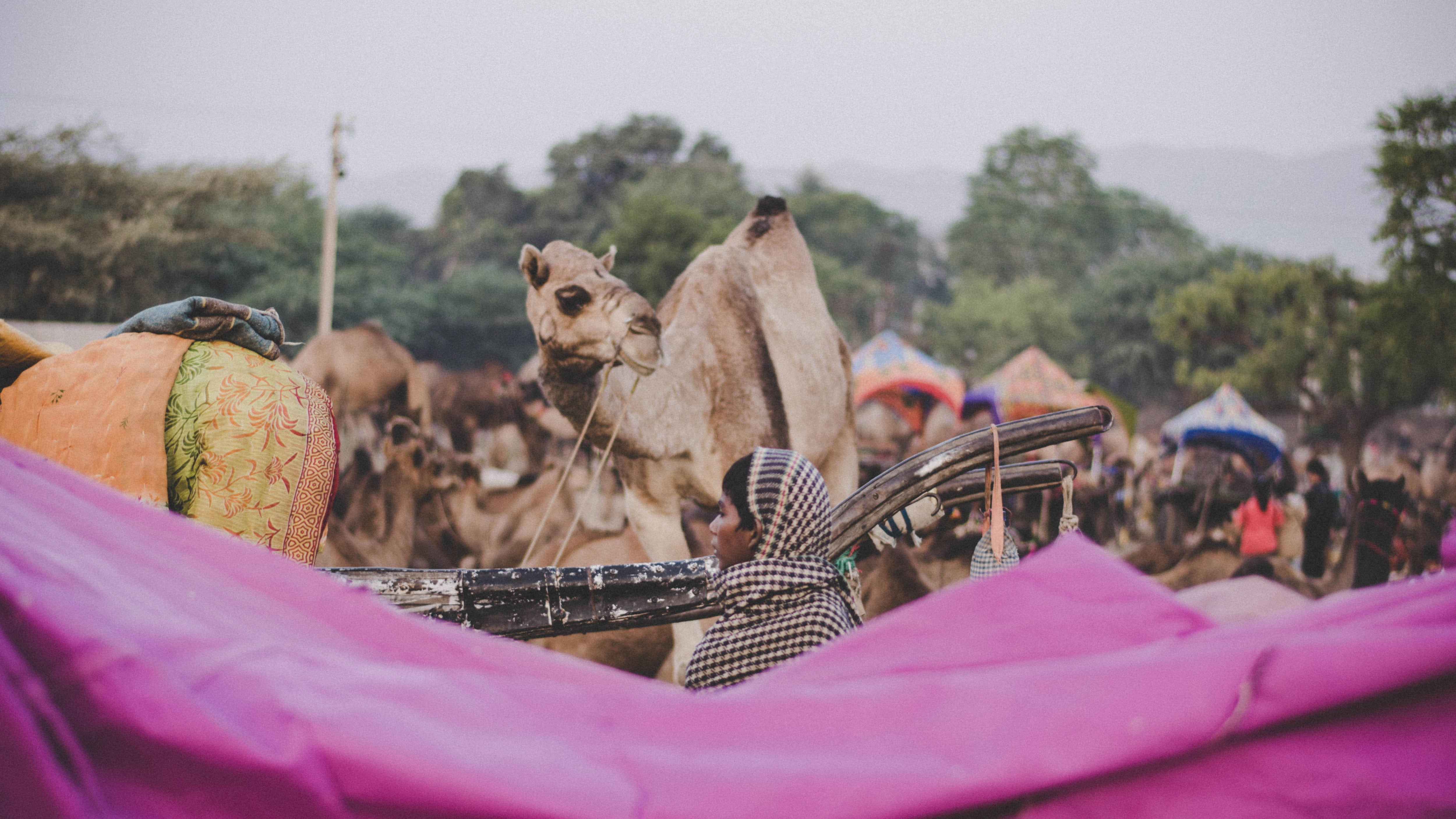 camel in front of person
