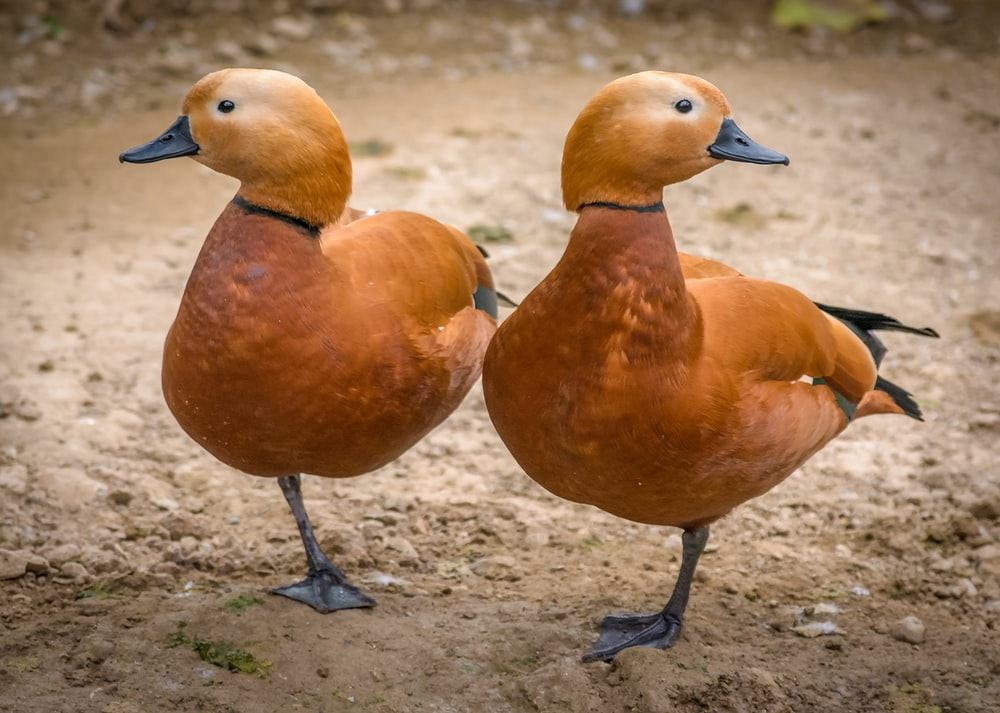 two brown ducks