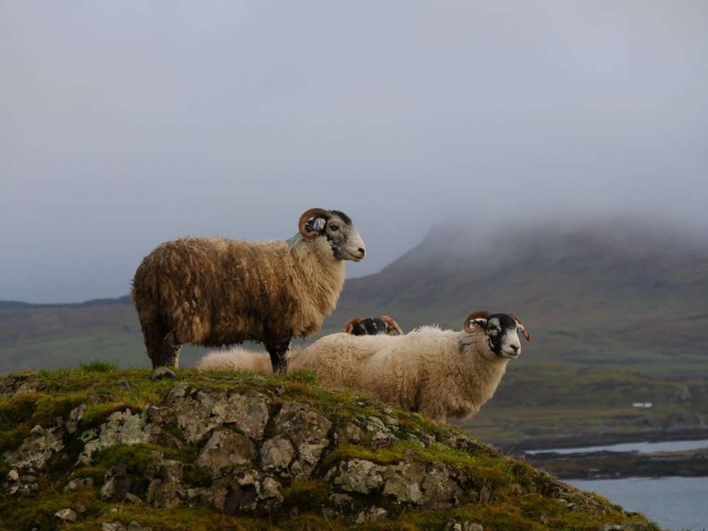 white and brown rams standing on stone