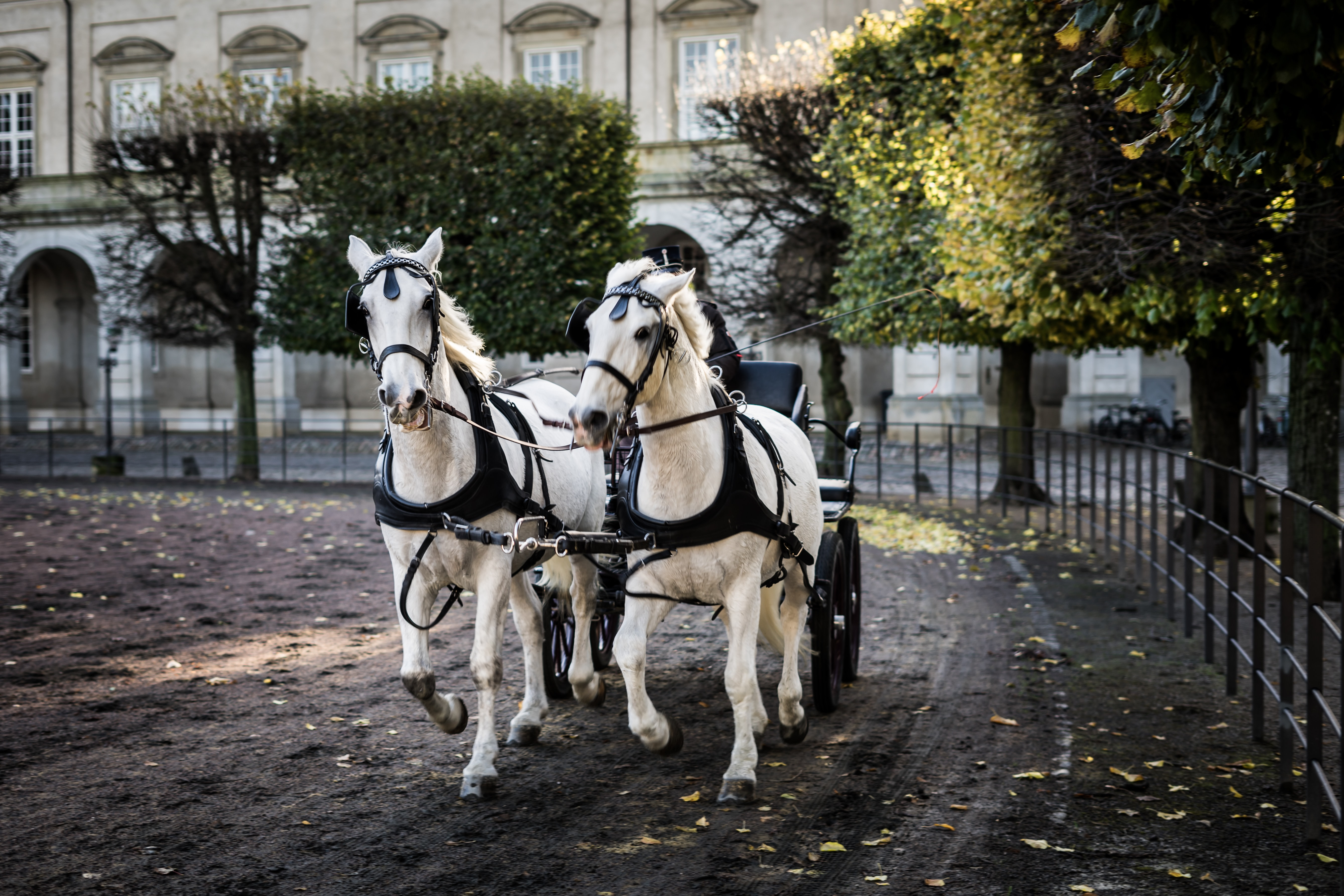 two white horses with carriage