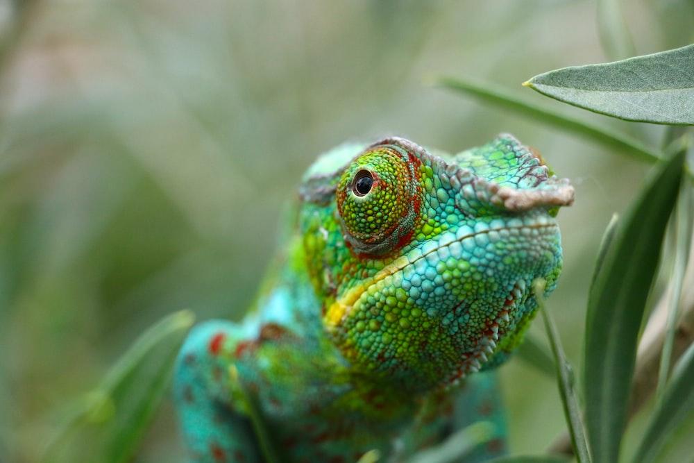 close-up photo of chameleon