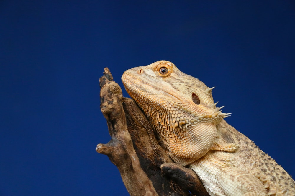 bearded dragon on driftwood