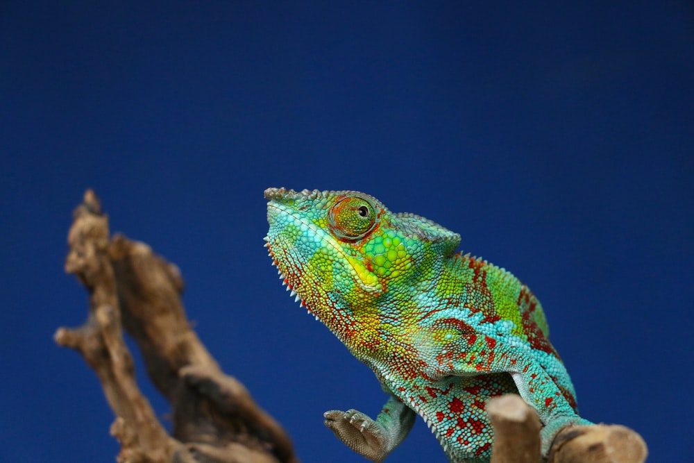 teal and green chameleon on tree trunk