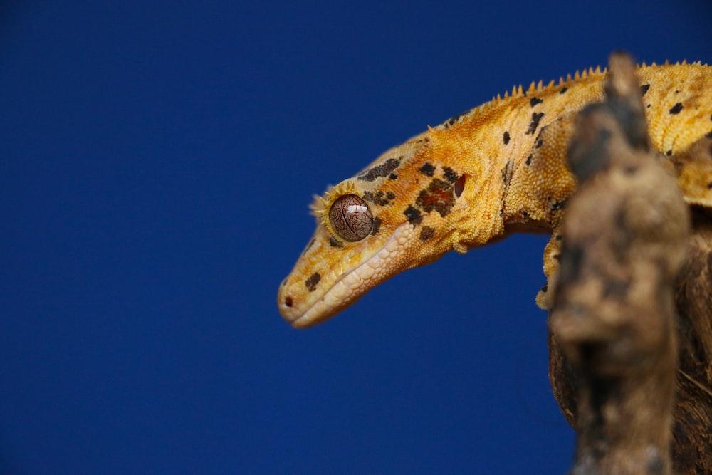 brown and gray reptile closeup photo