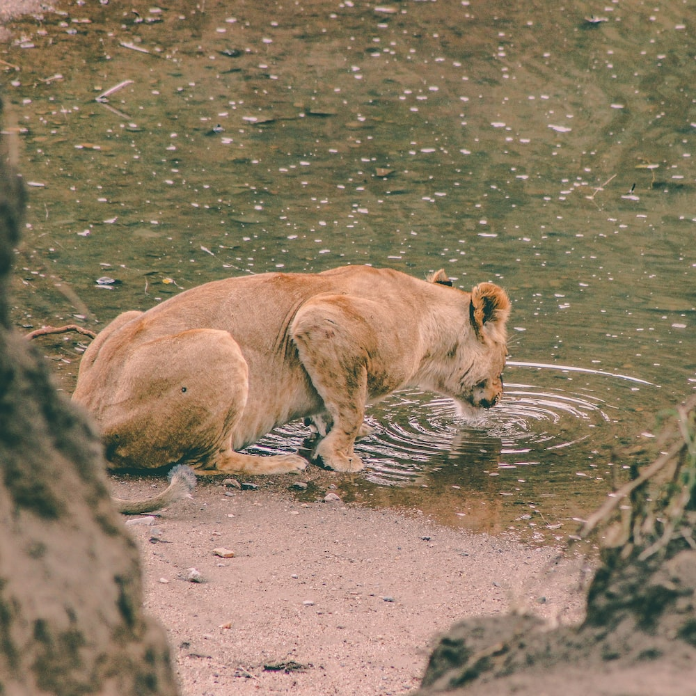 Lioness drinking water in Masai Mara National Park