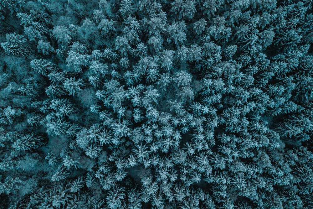 top view of pine trees