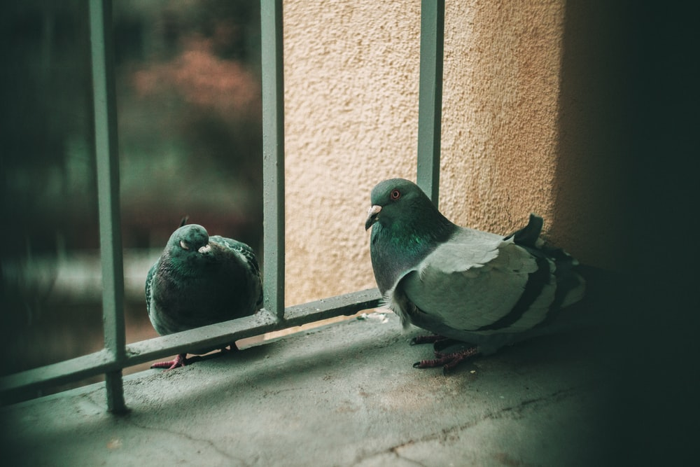 two gray-and-black pigeons on black metal fence