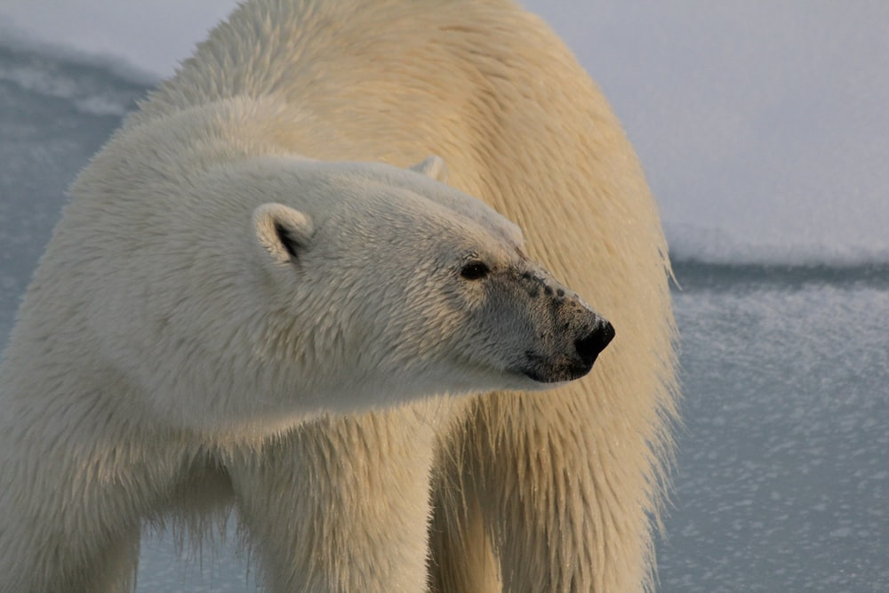 polar bear closeup photography