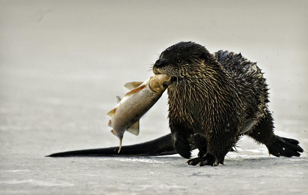 black beaver biting fish