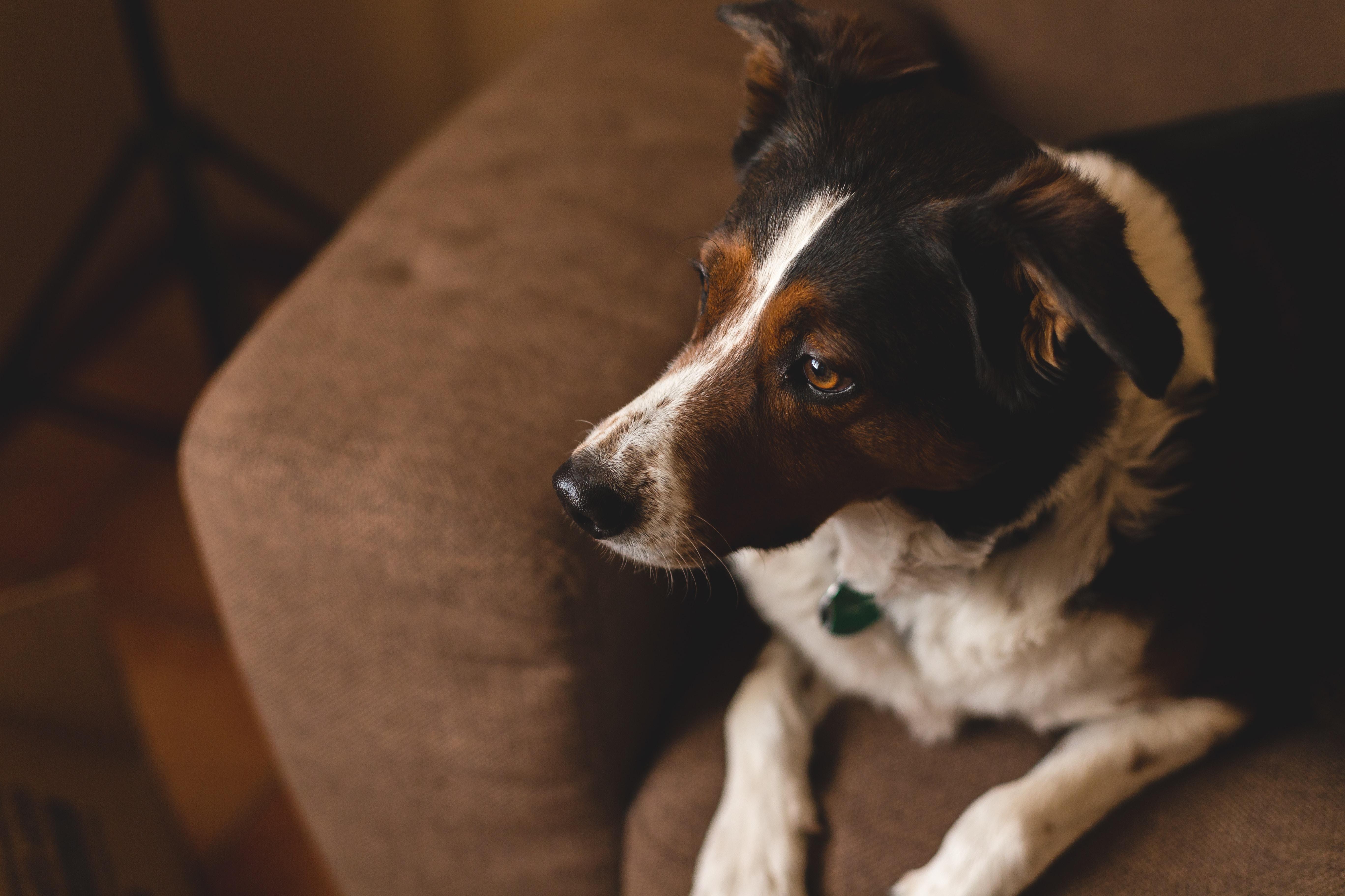 short-coated white and black dog on sofa