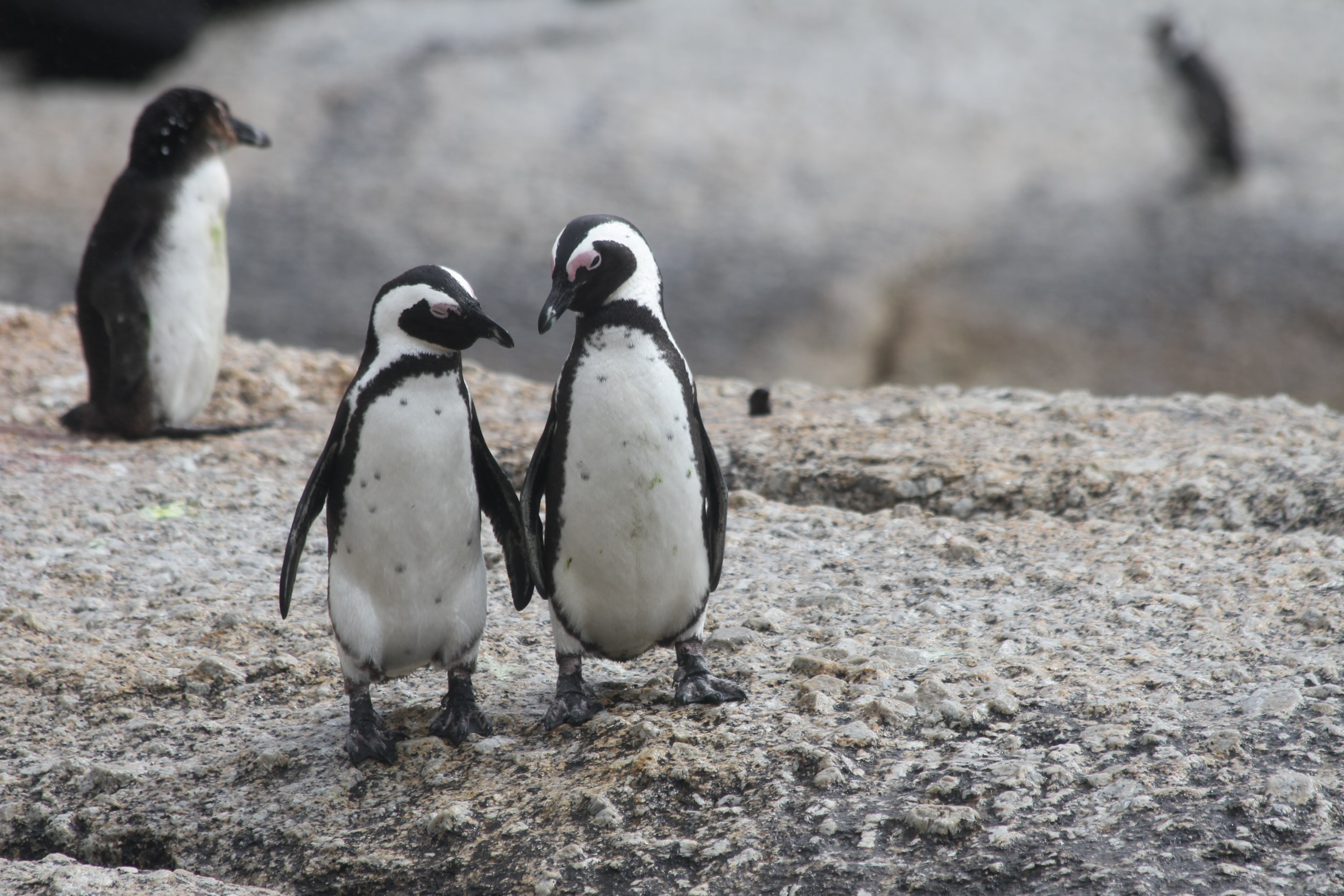 two penguin standing