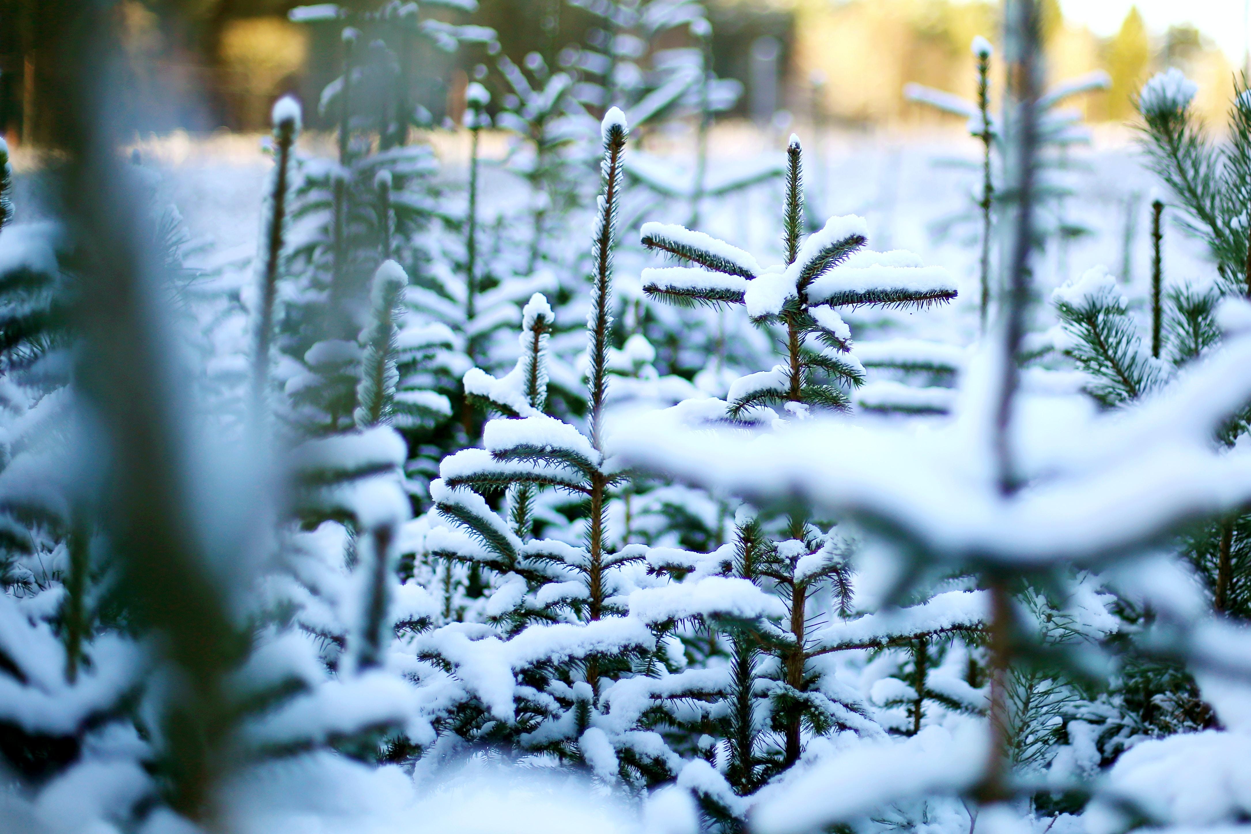 snowed pine trees