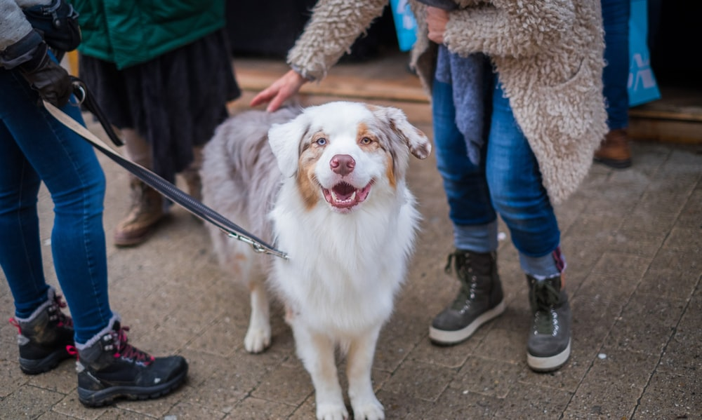 adult white and brown Australian shepherd in between persons