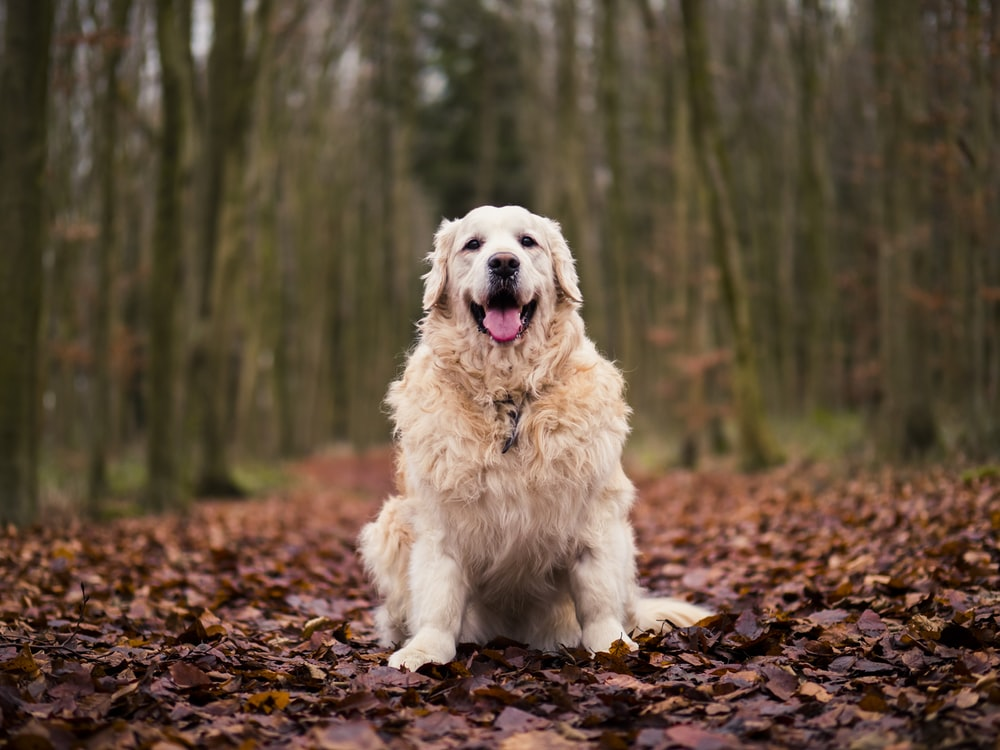 long-coated tan dog standing on brown leaves lot