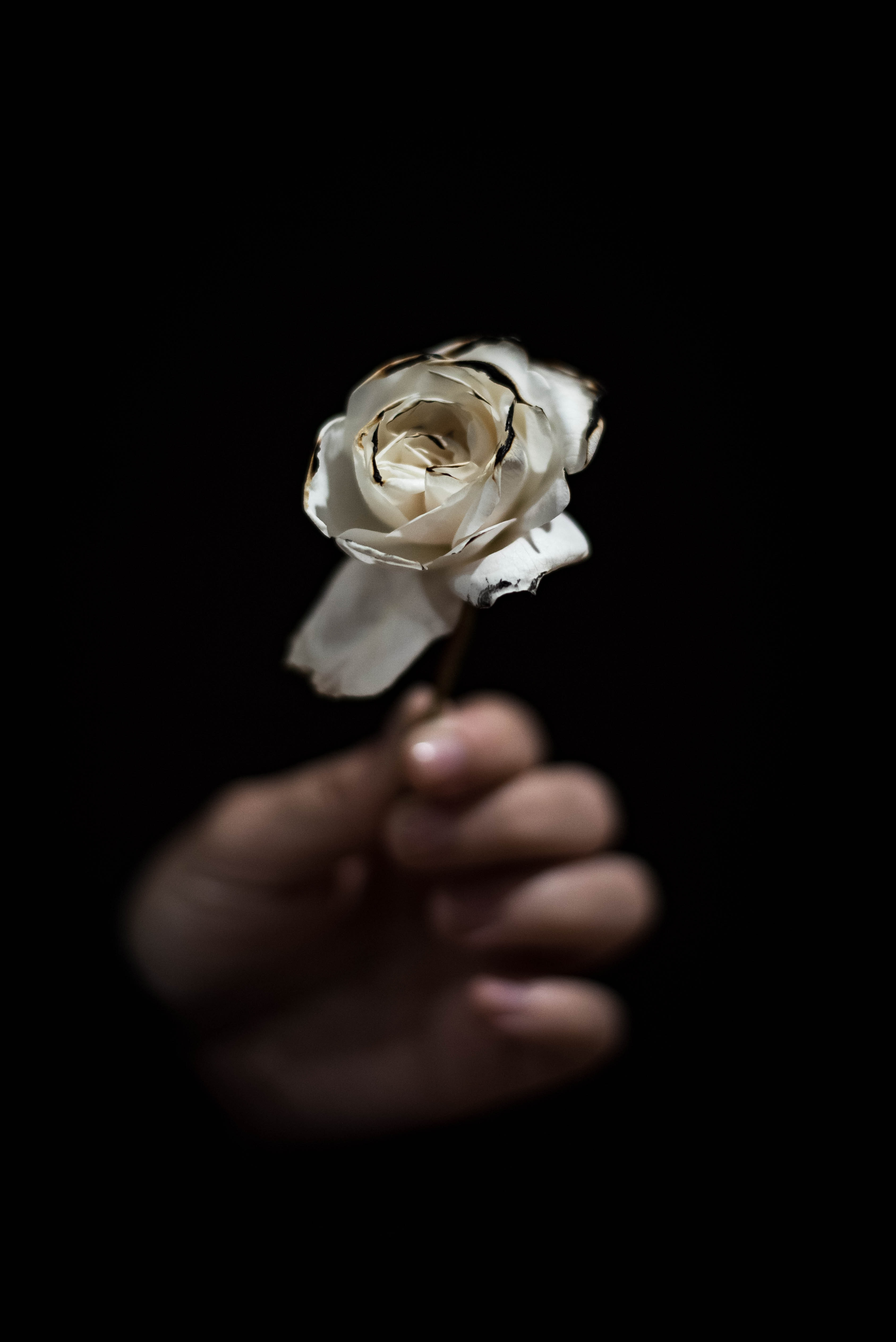 person holding white rose
