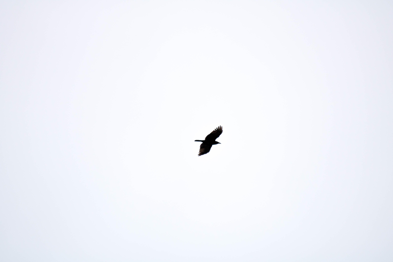 flight of black bird on sky