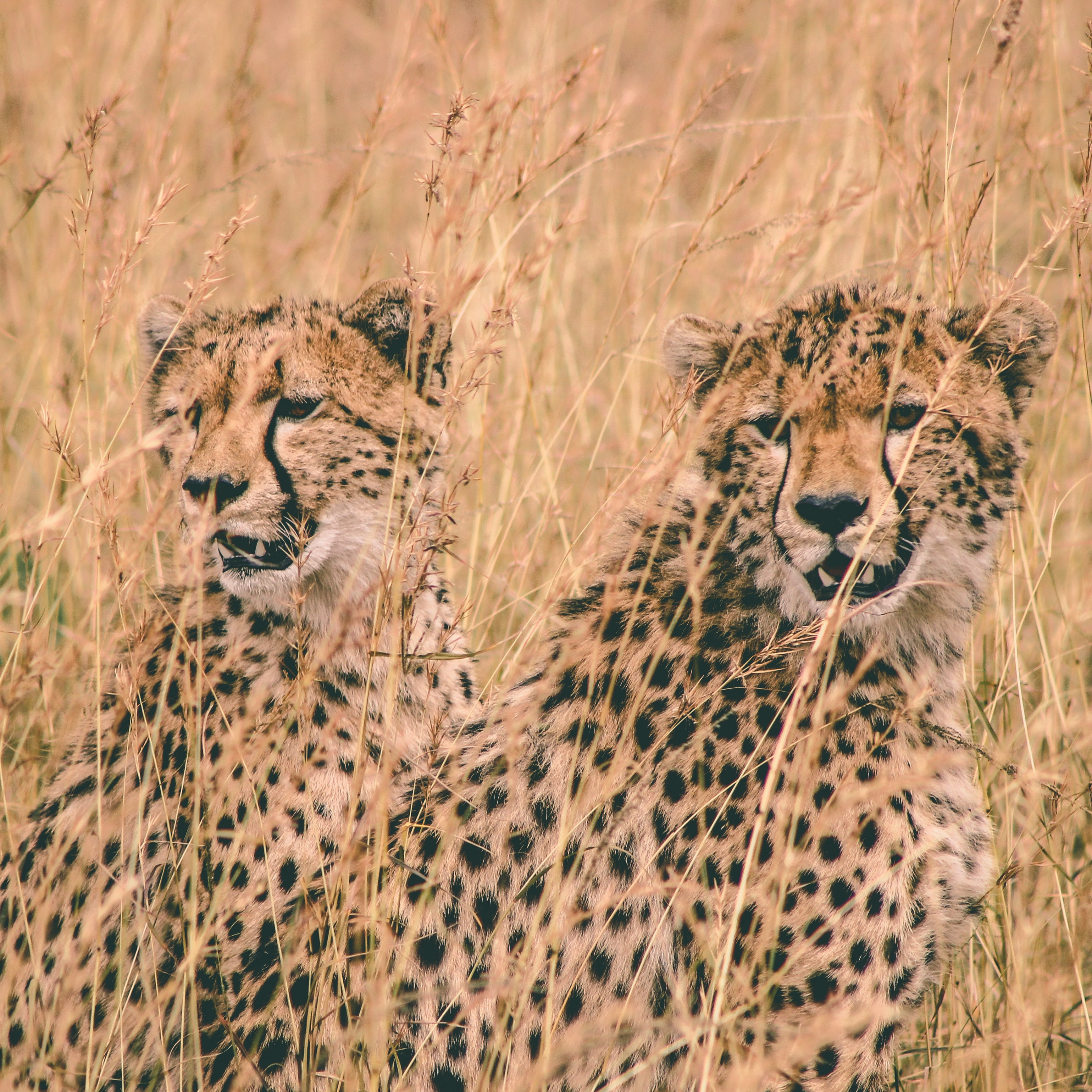 two cheetah sitting on field at daytime