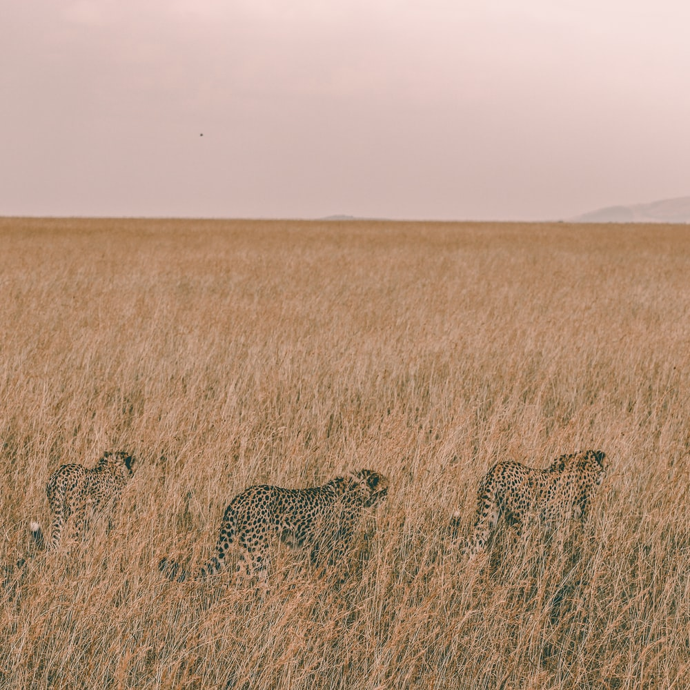 three brown leopards hiding on grass field during daytime