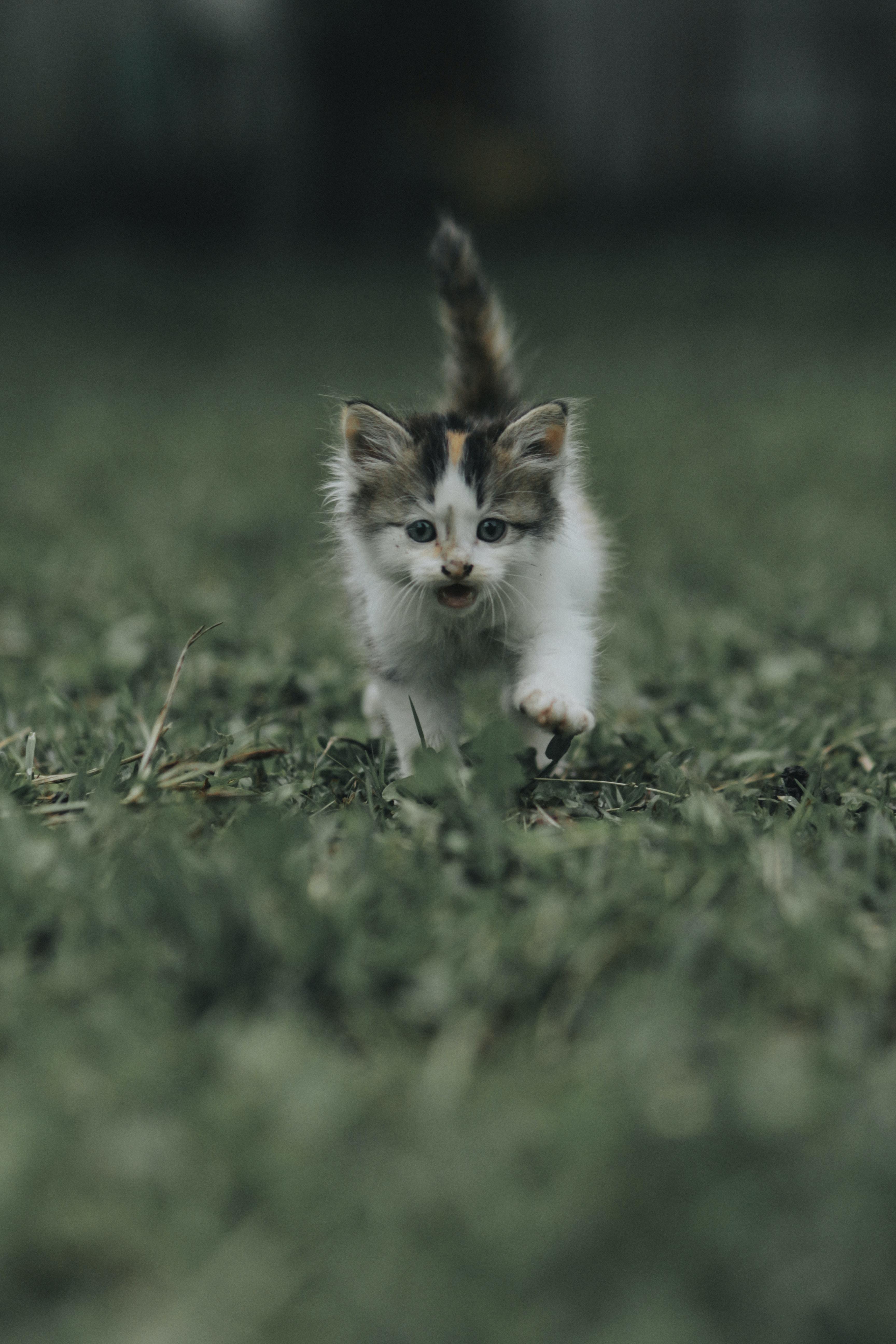 calico kitten on green grass