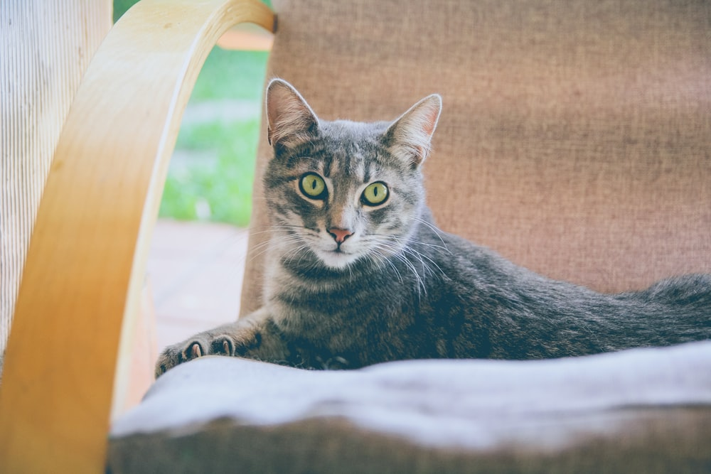 brown tabby cat on gray chair