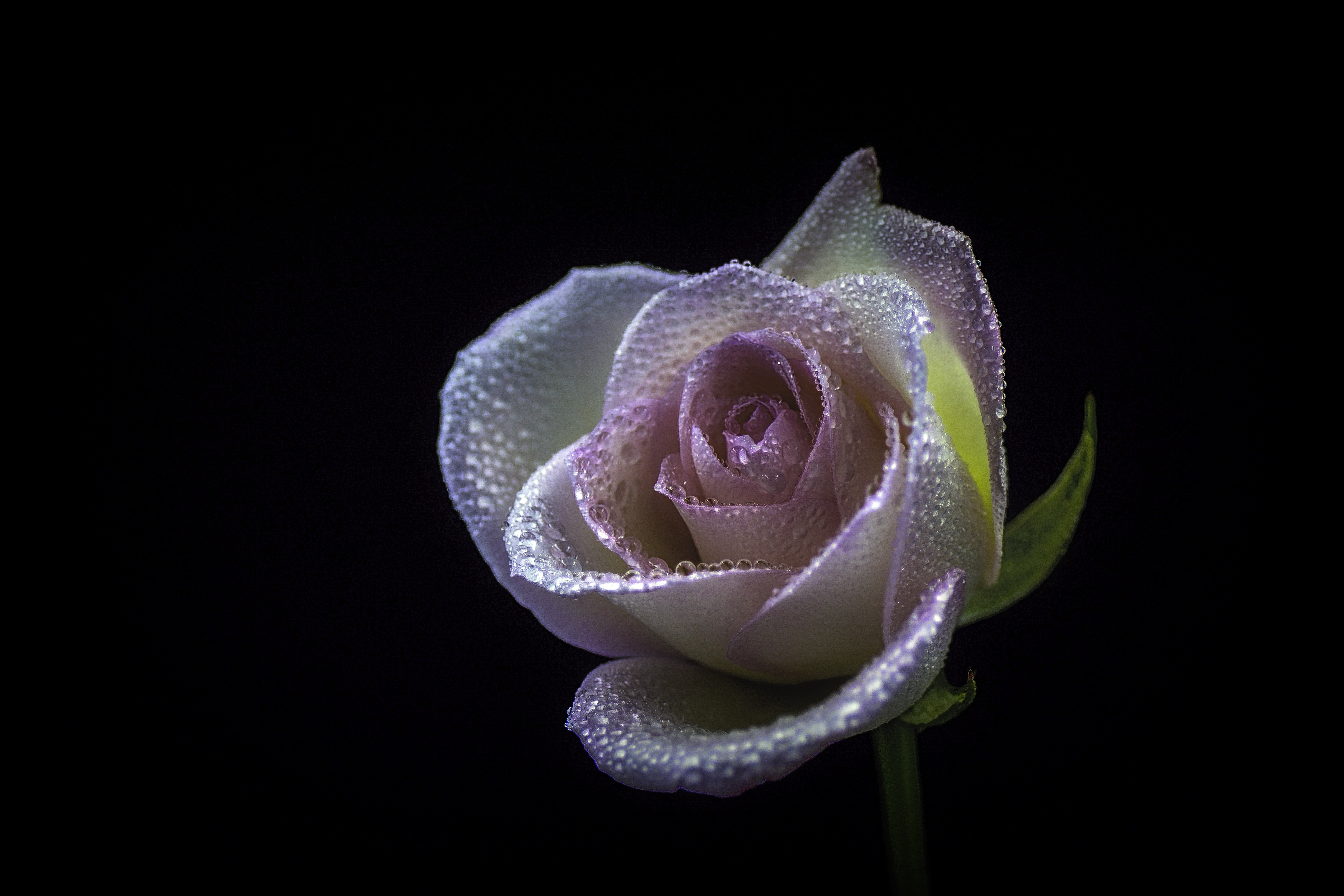 pink and white rose photography